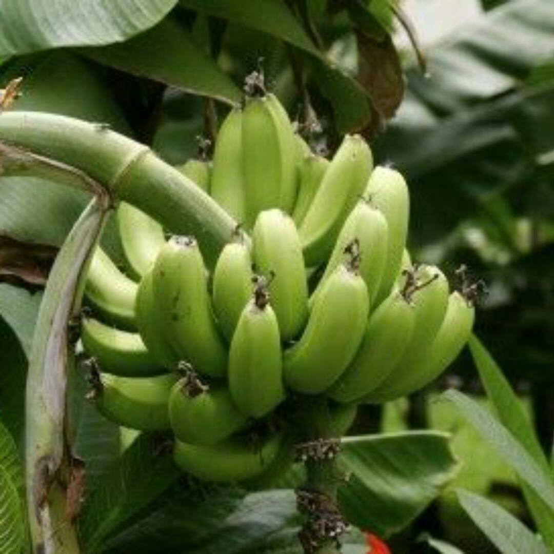 Image result for Man cuts off neighbour's ear over plantain tree in Rivers