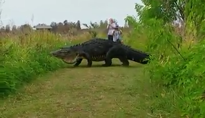 Enormous Alligator Nicknamed Humpback Spotted Wandering Around Florida
