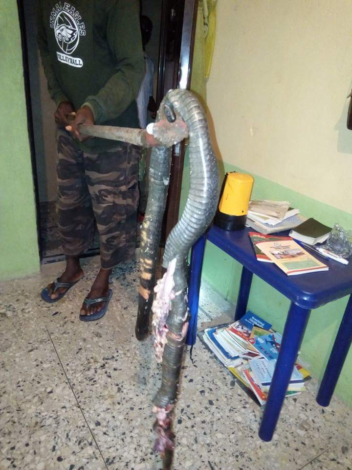 Man Narrates How Massive Cobra Was Killed In His Water Closet In Delta State (3)
