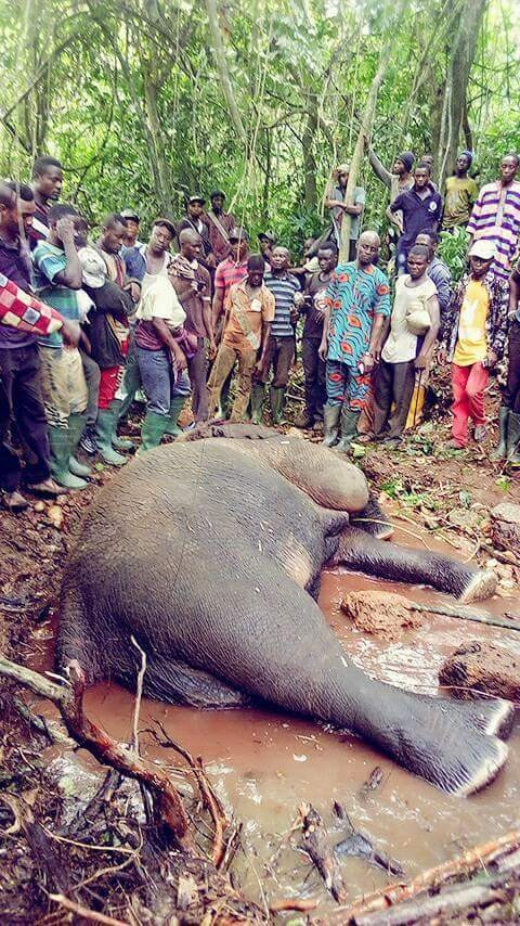 Hunter Kills An Elephant At Janiyi Camp (3)