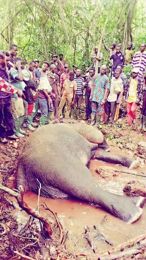 Hunter Kills An Elephant At Janiyi Camp (6)