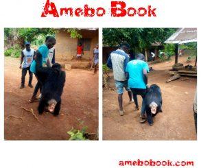 Gorilla Follows Farmer Back To His House