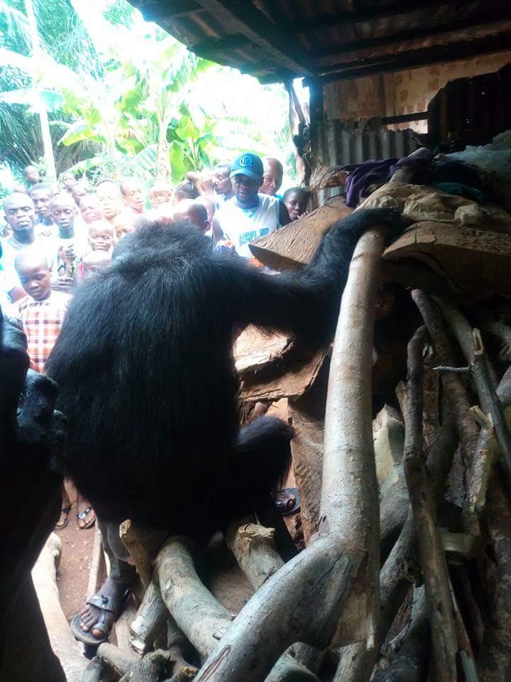 Gorilla Follows Farmer Back To His House (6)