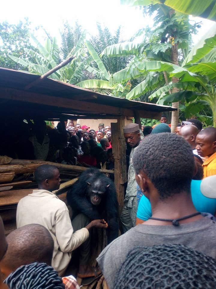 Gorilla Follows Farmer Back To His House (7)
