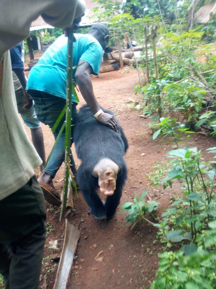 Gorilla Follows Farmer Back To His House (5)