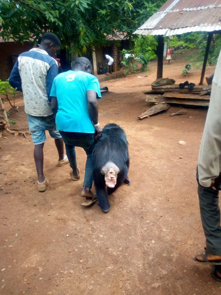 Gorilla Follows Farmer Back To His House (4)