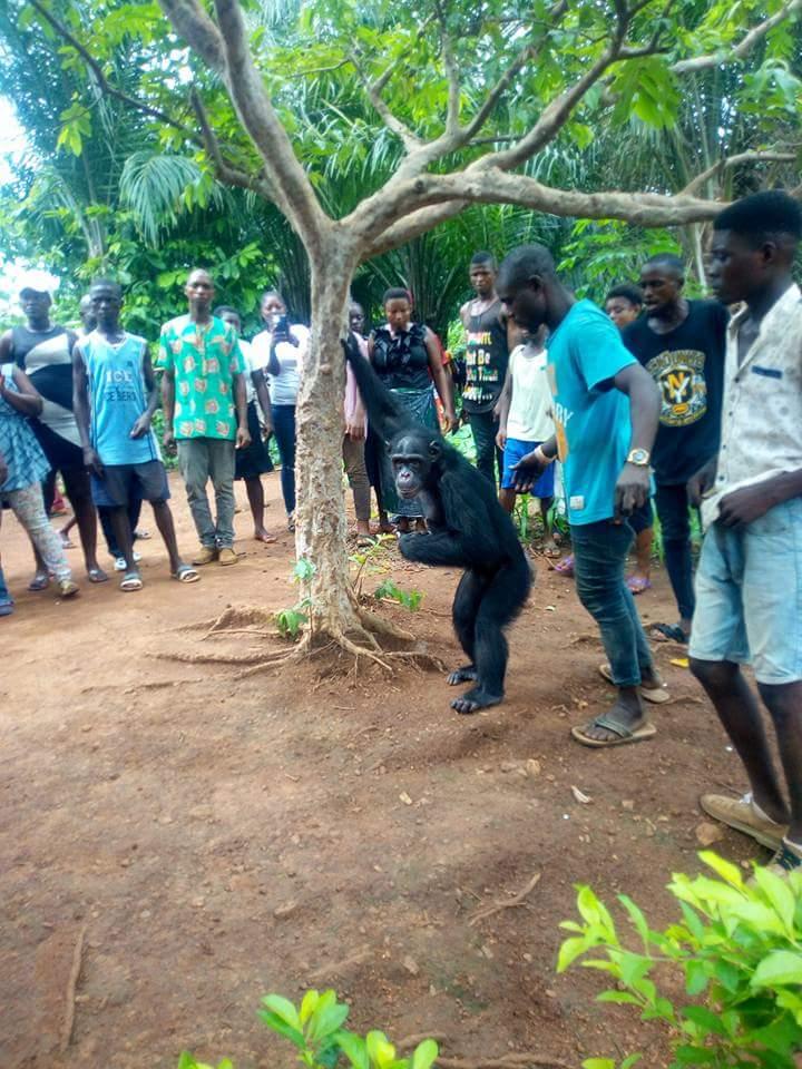 Gorilla Follows Farmer Back To His House (3)