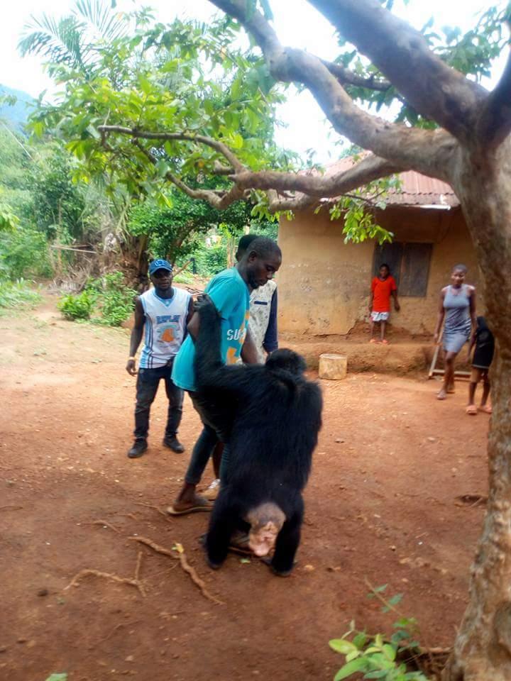 Gorilla Follows Farmer Back To His House (2)