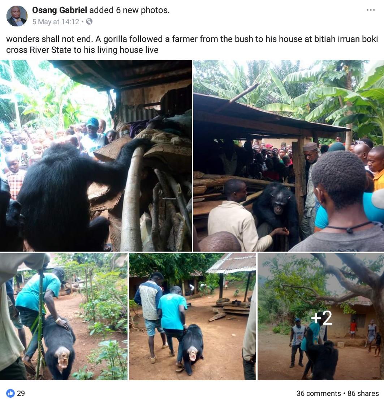 Gorilla Follows Farmer Back To His House (8)