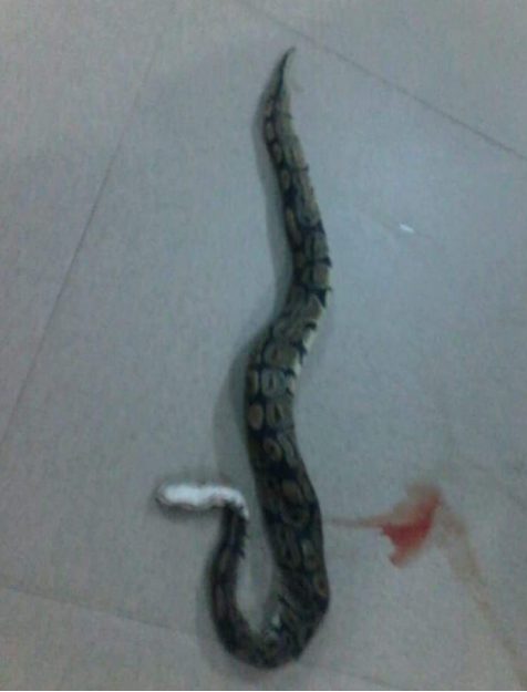 Churchgoer Displays Large Python Killed In Church (2)
