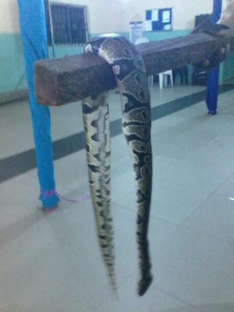 Churchgoer Displays Large Python Killed In Church (3)